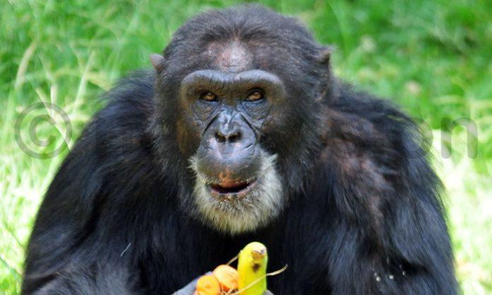 Uganda's oldest chimpanzee Zakayo dies aged 54